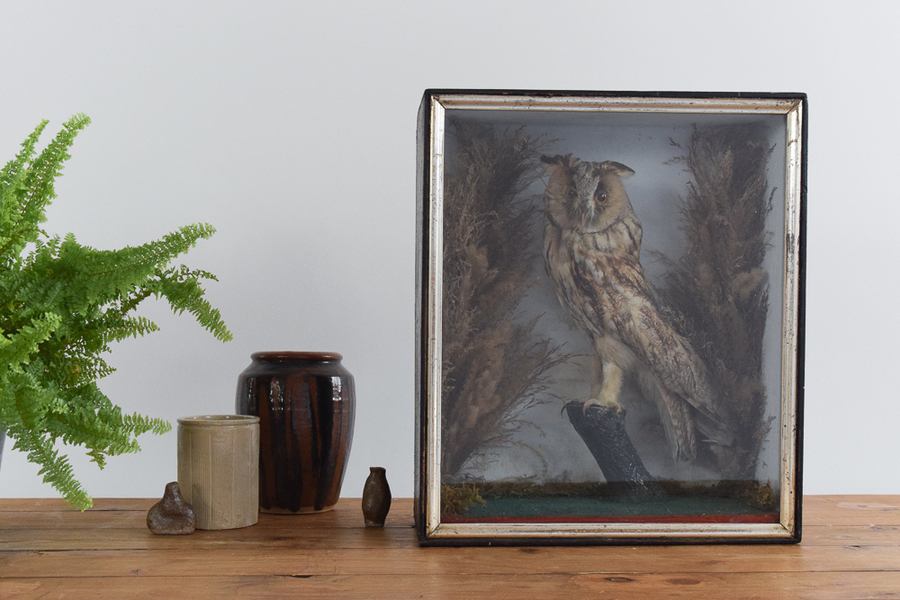 Vintage Taxidermy Long Eared Owl