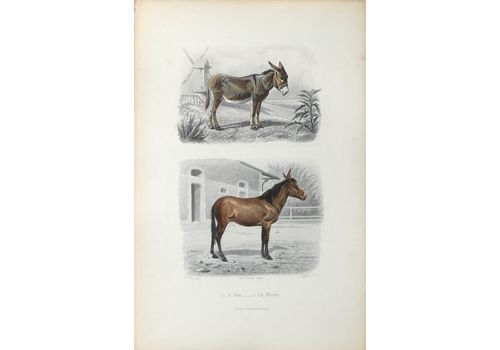 Buffon Illustré   Watercolor Lithograph   The Donkey And The Mulet