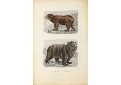 Buffon Illustré   Watercolor Lithograph   The Brown Bear And The Black Bear