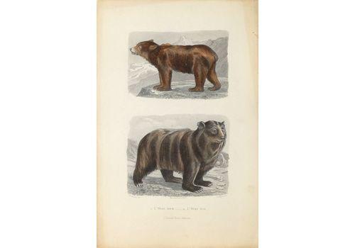 Buffon Illustré   Watercolor Lithograph   The Brown Bear And The Black Bear