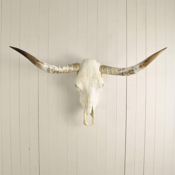 Texas Longhorn Steer Skulls 117